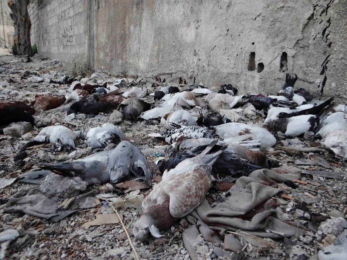 File:Erbin dead pigeons.jpg