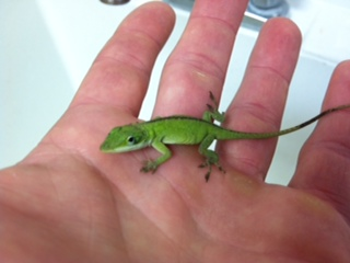 File:Green Anole.JPG