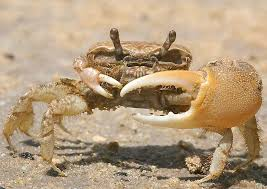 File:FiddlerCrab.jpeg