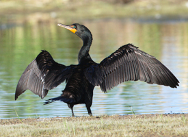File:Double crested cormorant.jpg