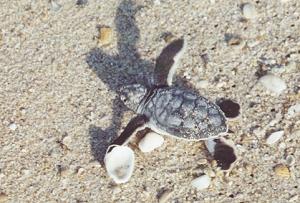 File:Turtle1.jpg