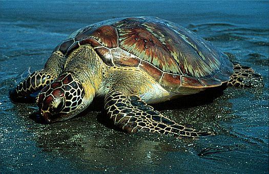 File:Turtle3.jpg