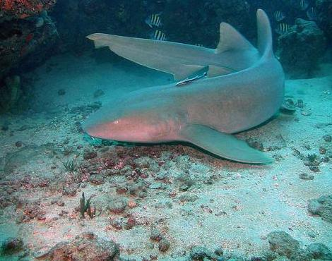File:Nurseshark.jpeg