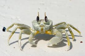 File:Ghost crab.jpg