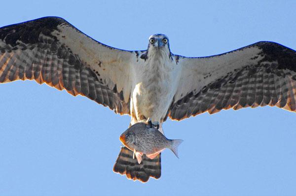 File:20070622124602 Osprey.jpg