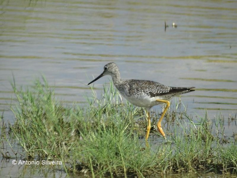 File:Yellowlegs salt marsh.jpg