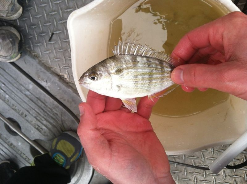 File:Pinfish.jpg
