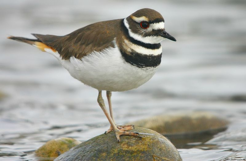 File:Killdeer.jpg