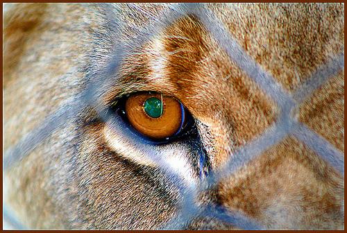 File:Caged lion.jpg
