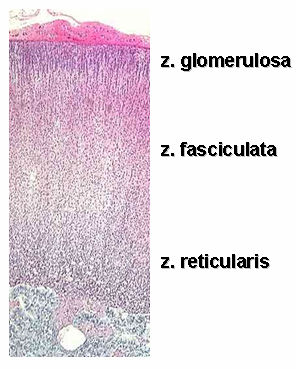 Histology with Color and Words