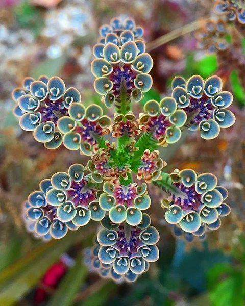 File:Kalanchoe flower.jpg