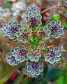 Kalanchoe flower.jpg