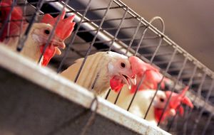 Chickens in cages.jpg