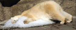 Argentinas only polar bear called worlds saddest.jpg