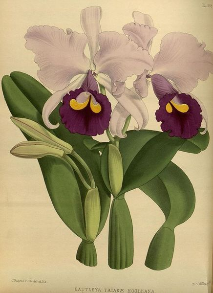 File:OrchidHoole.jpg