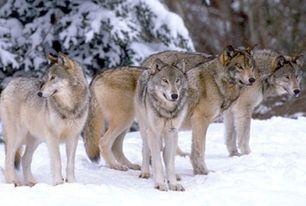 Wolfpck2.jpg
