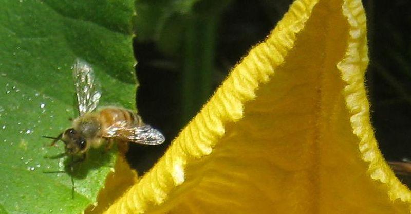 File:Biene Kürbs.JPG