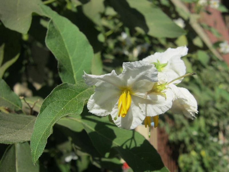 File:Kinder Solanum 11.JPG