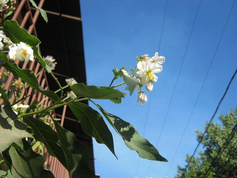 File:Solanum carolinensis 10.JPG