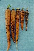 Carrot Violet Root Rot Helicobasidium brebissonii.jpg