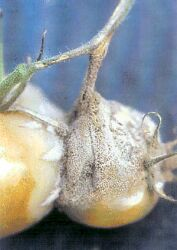Tomato Grey Mould Botrytis.jpg