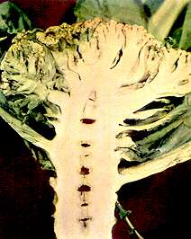 Cauliflower Boron deficiency Stalk.jpg