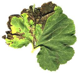 Cucurbit Bacterial leaf spot Xanthomonas campestris pv cucurbitae.jpg