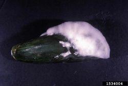 Cucumber Pythium blight Pythium aphanidermatum.jpg