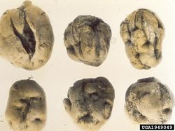 Potato Potato yellow dwarf virus Tubers.jpg