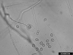 Zoospores Phytophthora root and stem rot Phytophthora drechsleri.jpg