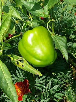 Sweet pepper Wisconsin lakes.jpg