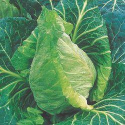 Spring Cabbage.jpg