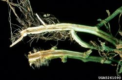 Tomato Southern Bacterial Wilt Ralstonia solanacearum.jpg