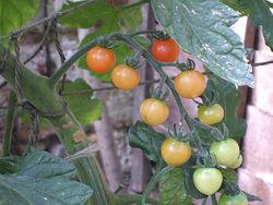 Tomato Sweet Million.jpg
