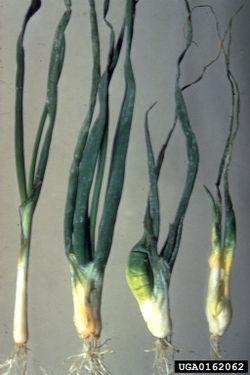 Onion Bulb Stem Nematode.jpg