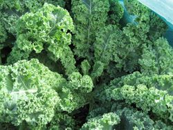 Kale Dwarf green curled.jpg