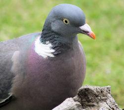 Wood Pigeon.jpg