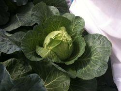 Cabbage Primo-2.jpg