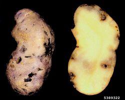 Potato rot nematode Ditylenchus destructor.jpg