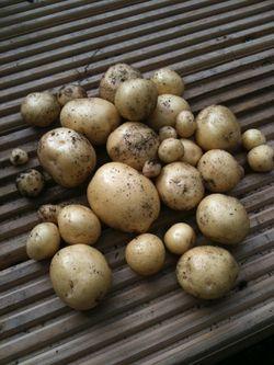 Potato Swift.jpg