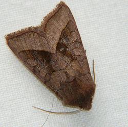 Rosy Rustic Moth.jpg