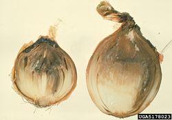 Onion Botrytis.jpg