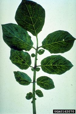 Potato Andean potato latent virus.jpg