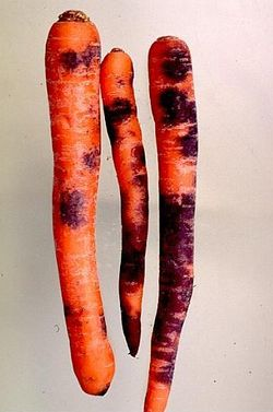 Carrot Black Root Rot.jpeg