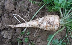 Parsley Root parsley.jpg