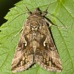 Silver y moth Autographa gamma.jpg