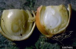Onion Center Rot Erwinia Ananas.jpg