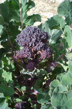 Broccoli Early Purple Sprouting.jpg