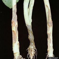 Tobacco Rhizoctonia solani (L&R) Sclerotinia (M).jpg