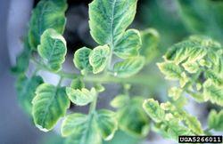 Tomato Tomato Yellow Leaf Curl Virus.jpg